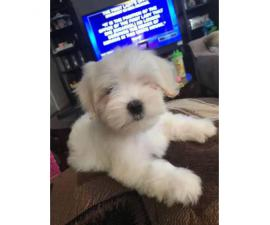 2 months old AKC Maltese puppies