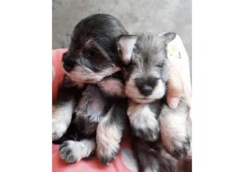 Schnauzer puppies males & females