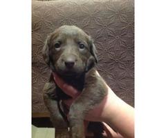 Chocolate Labrador Weimaraner Mix Pups In Lewiston Idaho