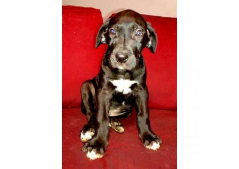 Great dane puppies for sale Full AKC registration