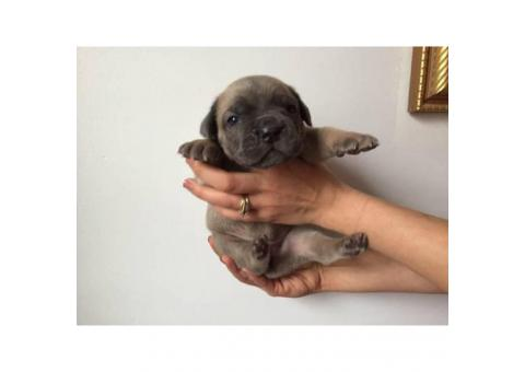 Cane corso puppies available for adoption