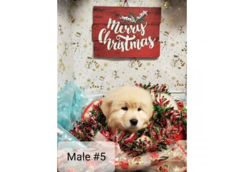 Great Pyrenees for Christmas