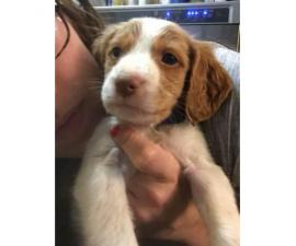 Brittany Spaniel puppies AKC. Papers ready