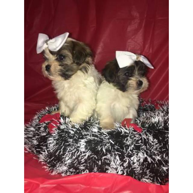 Buy Morkie Puppies in Vermont USA - Puppies for Sale Vermont USA