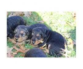 Adorable Airedale puppies
