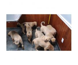 UKC Purebred Turkish Kangal Puppies 11 Weeks Old
