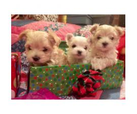 Morkie Puppies $500 Available for adoption