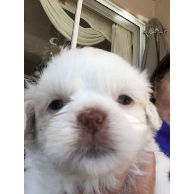 Purebred Shih Tzu Puppies For Sale In Ocala Florida Puppies For