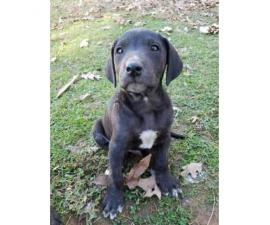 Mountain Cur puppies for adoption the week before Christmas