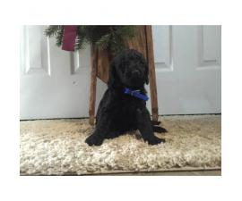 Mini Labradoodle Puppies ready for Christmas pickup