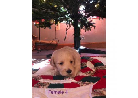 Labradoodle puppies available for sale