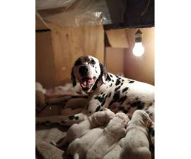 Dalmatian Puppy For Sale By Owner Puppies For Sale Near Me