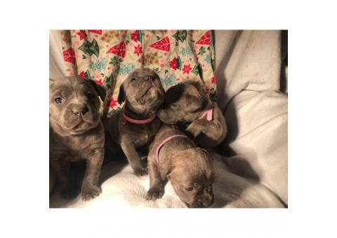 Cane Corso puppies for the New Year