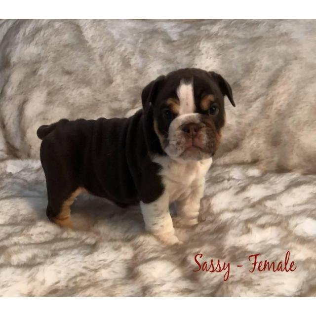 Olde English Bulldog Mix Puppies For Sale In Fresno California Puppies For Sale Near Me