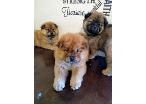 2 months old chow chow puppies ready for thier new homes.
