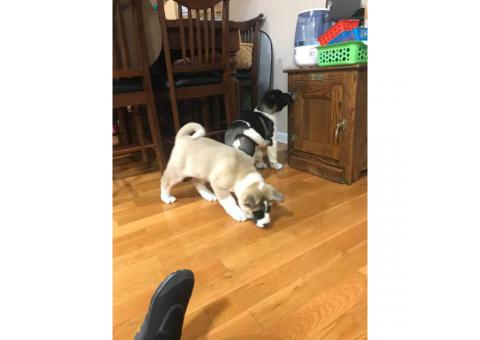 AKC Akita puppies  for sale - $700