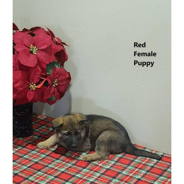 Purebred German Shepherd Puppies Available 4 Males And 4 Females In