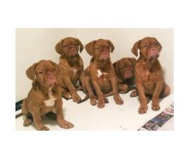 4 Males  AKC Registered Dougue De Bordeaux puppies
