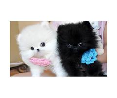 CHRISTMAS Male & Female  Pomeranian Puppies