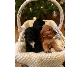 Beautiful Cocker Spaniel Puppies for Christmas