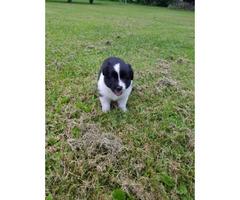 Australian Shepherd Puppies - all Black Tri's