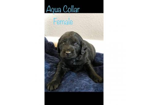 F1 Labradoodle Puppies - asking $900