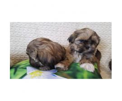 Full blood Shih Tzu puppies