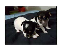 4 Chihuahua puppies @500