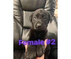 Labrador retriever puppies  3 puppies available