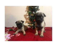 8 weeks old  Pug - perfect gift for Christmas