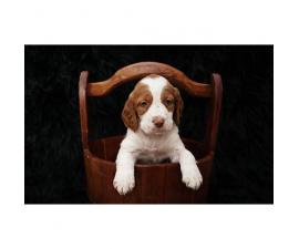 Brittany puppies for sale, 5 males remaining