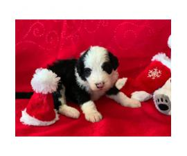 F1 Sheepadoodle puppies for sale, 3 male, 2 female
