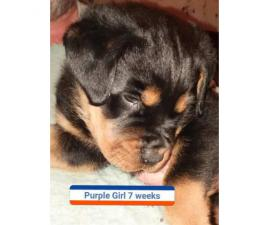 2 female Rottweilers for sale