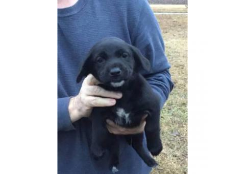 4 more lab mix puppies for sale