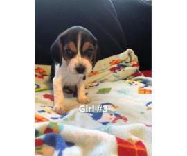 4 beagle pups left, Price is $600