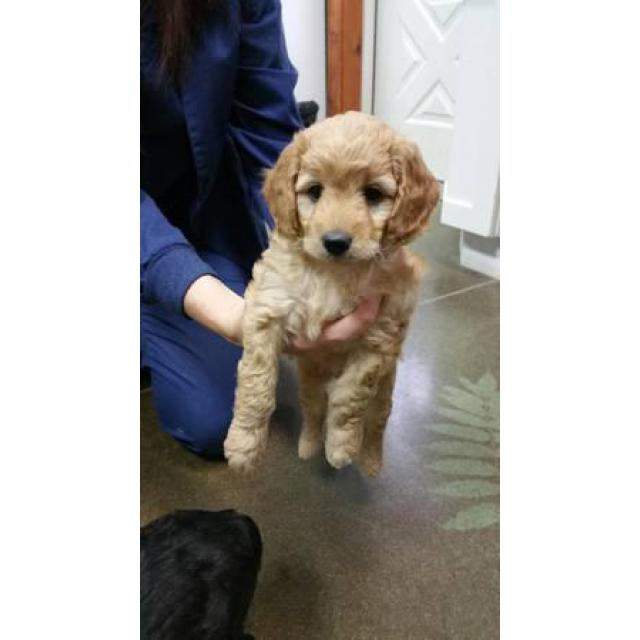 Aussie Doodle Puppies Gorgeous Smart And Occasional