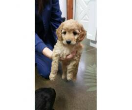 Aussie Doodle Puppies - Gorgeous, Smart and occasional Shedding
