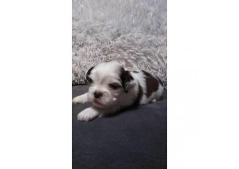Shih Tzu Puppies with ACA papers. $600 price tag