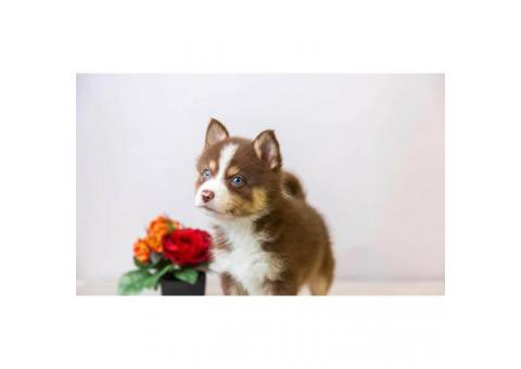 Super friendly Pomsky puppies ready to go