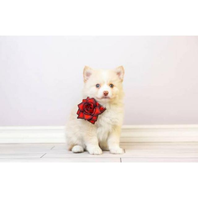Super Friendly Pomsky Puppies Ready To Go In Philadelphia Pennsylvania Puppies For Sale Near Me
