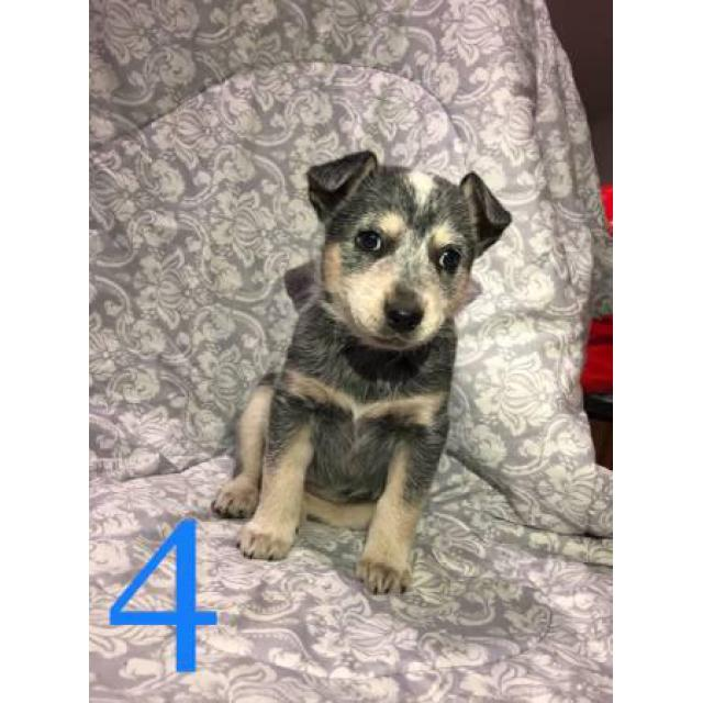 4 Beautiful Blue Heeler Puppies For Sale In Denver Colorado