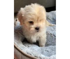 Beautiful Pure Breed Maltese Puppies