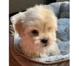 Beautiful Pure Breed Maltese Puppies