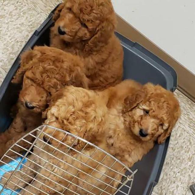 Ack Red Standard Poodle Puppies For Sale In Alexandria Louisiana