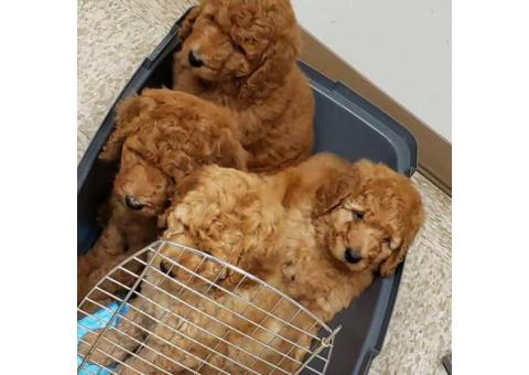 ACK Red Standard Poodle Puppies for Sale