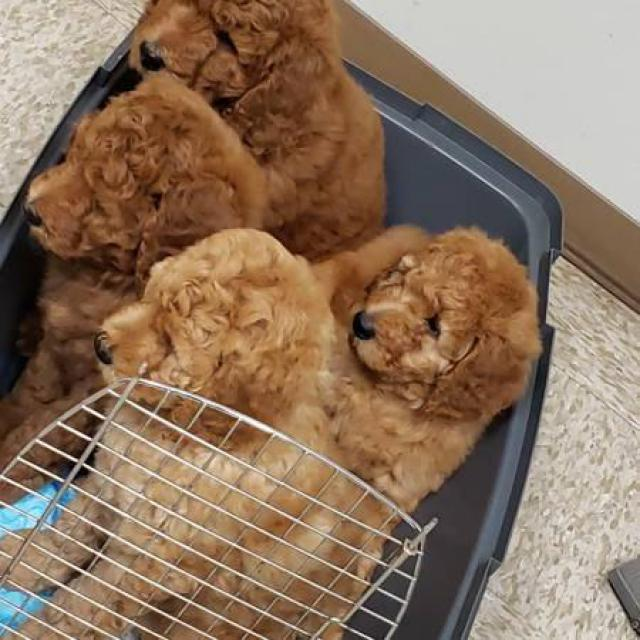 For Sale By Owner Colorado >> ACK Red Standard Poodle Puppies for Sale in Alexandria, Louisiana - Puppies for Sale Near Me