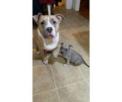 Pitbull New Years puppies!