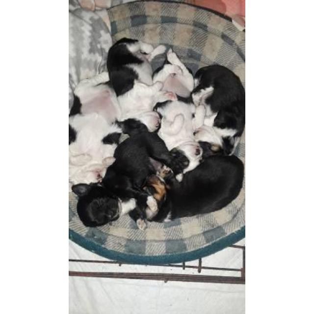 Chihuahua Long Hair Puppies In Columbus Ohio Puppies For Sale
