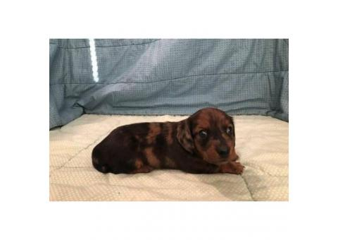 Female Long haired Red Dapple AKC registered Miniature Dachshund