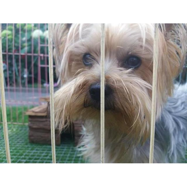 11 weeks old Male Yorkie in Dayton , Ohio - Puppies for Sale